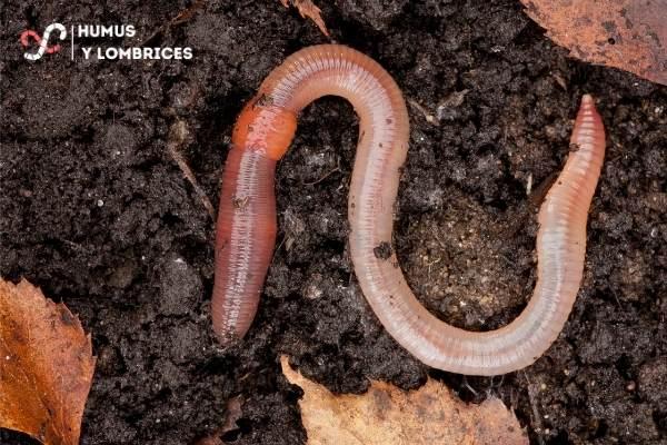 La importancia de la lombriz de tierra para lograr un suelo enriquecido.