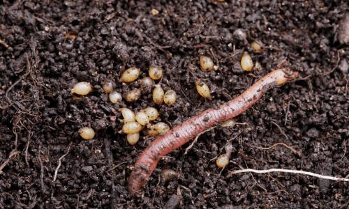 lombriz de tierra reproduccion