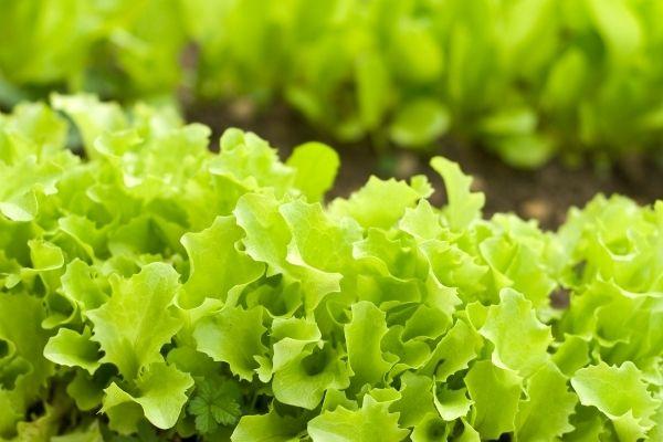 Beneficios del té de compost